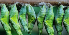 butterfly cocoon maturity